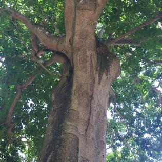 Monkey no climb tree - © 2017 Cryssa Bazos