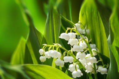 Blooming Lily of the valley in spring garden